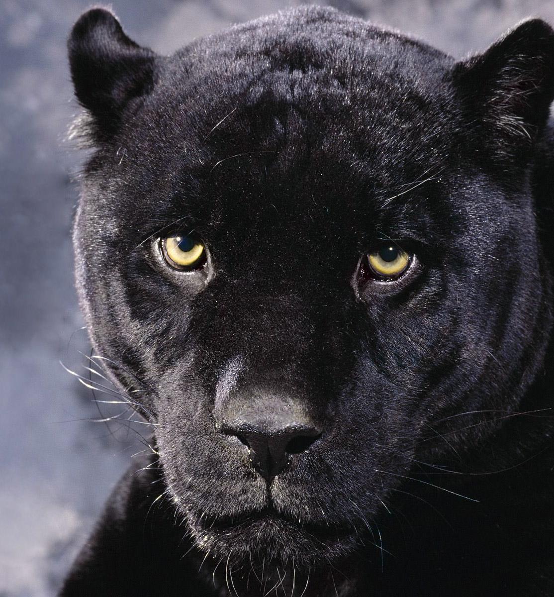 jugando con un leopardo negro