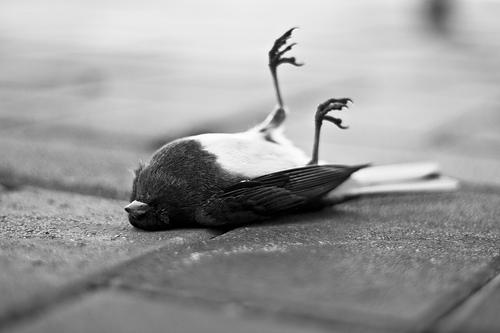pajaro-muerto